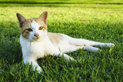 White cat lay down on the grass. White cat lay down on the lawn, selective focus royalty free stock images