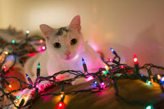 White cat laydown on sofa surrounded by christmas light. White kitty cat laying down on sofa looking forward surrounded by christmas light, relaxing cat, Holiday Royalty Free Stock Photography