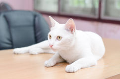 White cat laying down on the table Stock Photography
