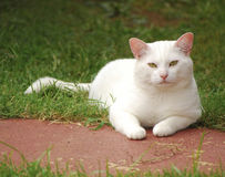 White cat laying in grass Stock Images