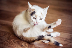 White cat lick his paw. At home Stock Image