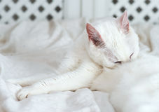White cat licking himself. Royalty Free Stock Photography