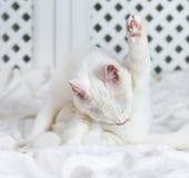 White cat licking himself. Royalty Free Stock Image