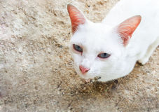 White cat lie on sand Royalty Free Stock Images