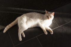 White cat lies on black floor Royalty Free Stock Image