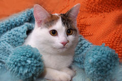White cat lies on an orange pillow, wrapped in a blue scarf Stock Image