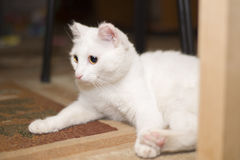 A white cat lies under the table Stock Photos