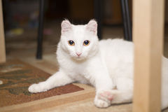 A white cat lies under the table Royalty Free Stock Image
