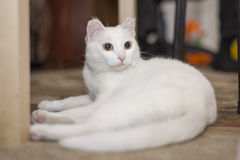A white cat lies under the table Stock Photo