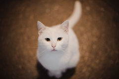 White cat looking in camera Royalty Free Stock Photos