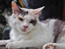 White Cat. Cat looking at infront of ot Royalty Free Stock Photos