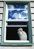 White cat looking out old screened window. White cat looking out screened window with sky reflection in upper  glass window Stock Image