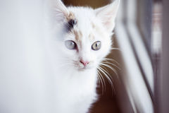 White cat looking out the window at home. White small cat looking out the window at home Stock Photo