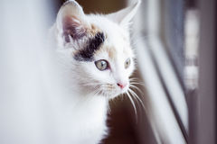 White cat looking out the window at home. White small cat looking out the window at home Stock Photos