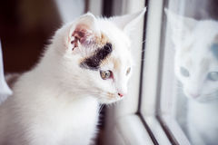 White cat looking out the window at home. White small cat looking out the window at home Stock Photography
