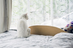 White cat looking outside Royalty Free Stock Images