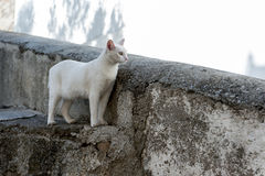 White cat looking over wall with copy space. White cat looking over wall with copyspace Royalty Free Stock Photography