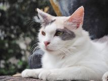 White Cat. Cat looking at somthing in nature Stock Image