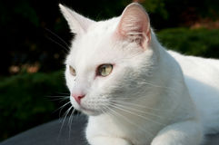 White Cat. Looking to the side Stock Photo