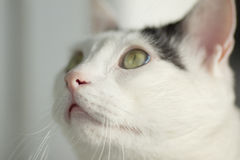 White cat looking up Royalty Free Stock Photography