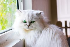 White cat looking at you. Sitting in window Royalty Free Stock Photos