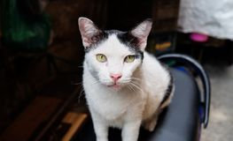 A white cat looking at you. Close up Royalty Free Stock Photo