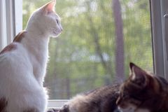 A white cat looks out the window stock photo