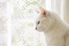 White cat looks outside the window. The portrait of white cat looks outside the window Stock Image