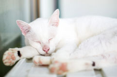 White cat. Lovely white cat, soft focus royalty free stock photos