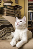 White cat lying in the armchair. White cat (with one blue eye and one brown eye) lying in the armchair, surrounded with books Royalty Free Stock Image