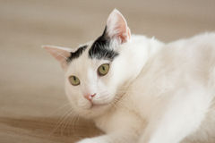 White cat lying. Black and white Turkish Van cat portrait. Cat lying on the floor at cozy home atmosphere Royalty Free Stock Photo