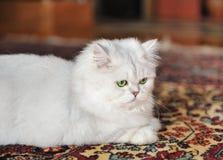 White cat lying on the carpet. Stock Image