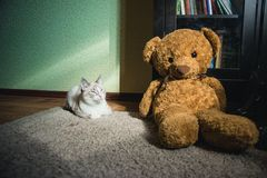 White cat lying on a carpet in square of light with teddy bear and a bookcase looking at light. A white cat lying on a carpet in square of light with teddy bear stock photography
