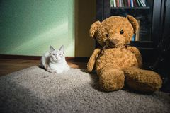White cat lying on a carpet in square of light with teddy bear and a bookcase looking up. A white cat lying on a carpet in square of light with teddy bear and a royalty free stock photo