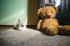 White cat lying on a carpet in square of light with teddy bear and a bookcase and yawning. A white cat lying on a carpet in square of light with teddy bear and a stock images