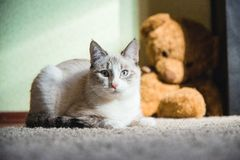 White cat lying on a carpet with teddy bear on the background looking straight. A white cat lying on a carpet with teddy bear on the background looking straight royalty free stock photos