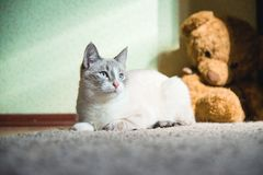 White cat lying on a carpet with teddy bear on the background looking to the light. A white cat lying on a carpet with teddy bear on the background looking to royalty free stock photography