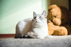 White cat lying on a carpet with teddy bear on the background looking to the side up. A white cat lying on a carpet with teddy bear on the background looking to royalty free stock image