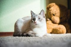 White cat lying on a carpet with teddy bear on the background looking to the side up. A white cat lying on a carpet with teddy bear on the background looking to royalty free stock images