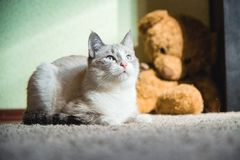 White cat lying on a carpet with teddy bear on the background looking up. A white cat lying on a carpet with teddy bear on the background looking up stock photos