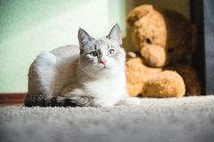 White cat lying on a carpet with teddy bear on the background looking at you. A white cat lying on a carpet with teddy bear on the background looking at you stock images