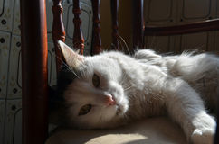 White cat lying in a chair in the sun Royalty Free Stock Images