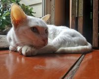 White cat lying on cracked wooden floor Royalty Free Stock Photos