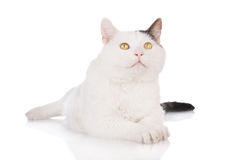 White cat lying down Royalty Free Stock Photography