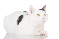 White cat lying down Royalty Free Stock Images