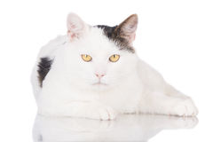 White cat lying down Stock Images