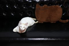 White cat lying down with pillow shape of cat in brown color on the black leather sofa. royalty free stock image