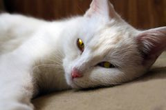 White cat lying on the floor. And looking at the camera Stock Photography