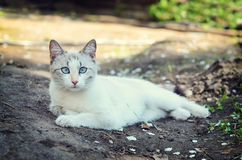 White cat lying in the garden. Beautiful white cat with blue eyes lying on the garden path royalty free stock images