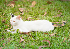 White cat lying on the grass field Royalty Free Stock Photo